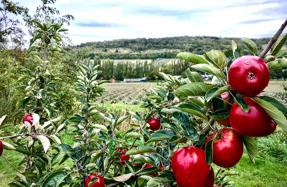 Image of red apples on tree at Castle Farm Darent Valley