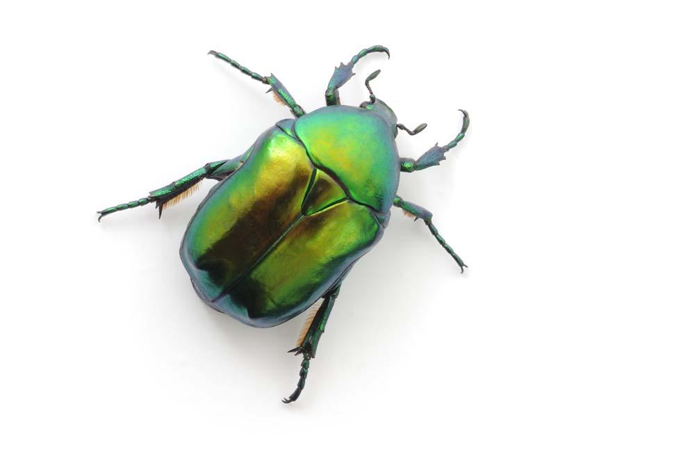 Image of a shiny green beetle