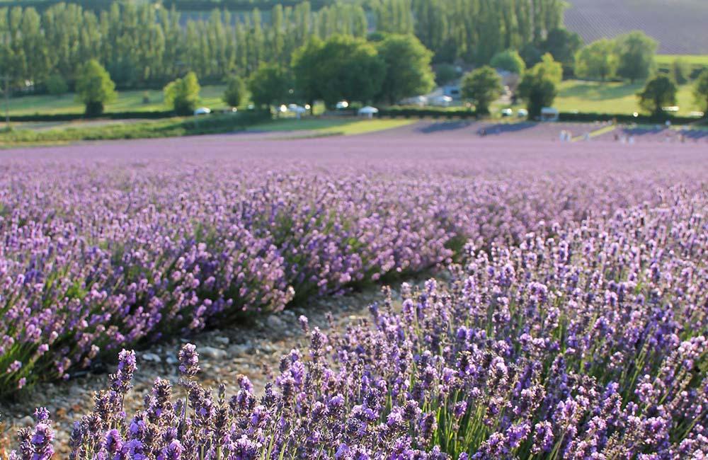 view of Lavender Fields at Castle Farm