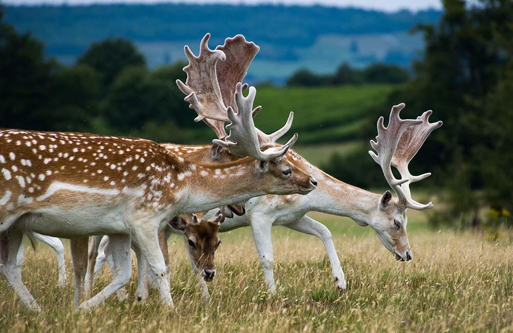 Herd of deer crazing in Knole Park