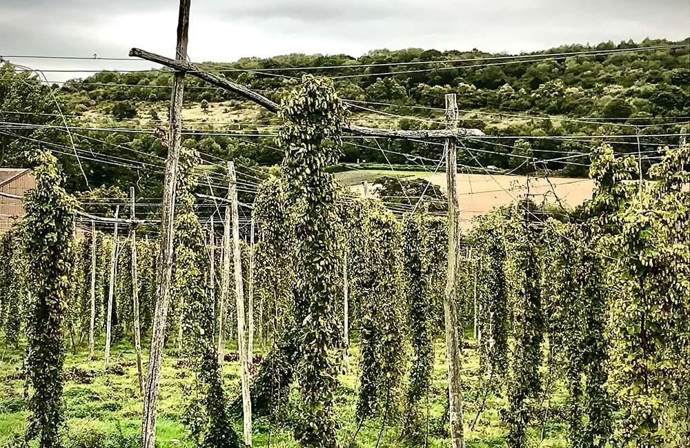 View of hop vines at Castle Farm, Eynsford